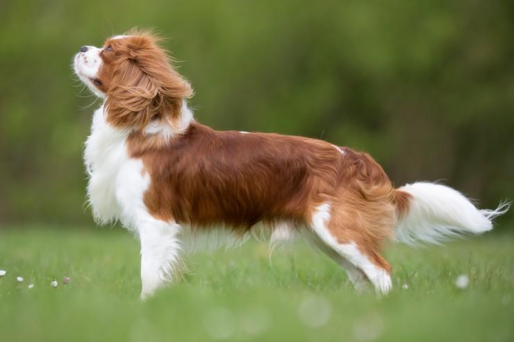 Cavalier king charles spaniel information dog breeds at dogthelove cavalier king charles spaniel altavistaventures Image collections