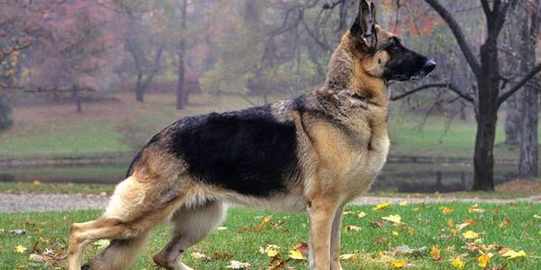 Top 20 Best Police Dog Breeds