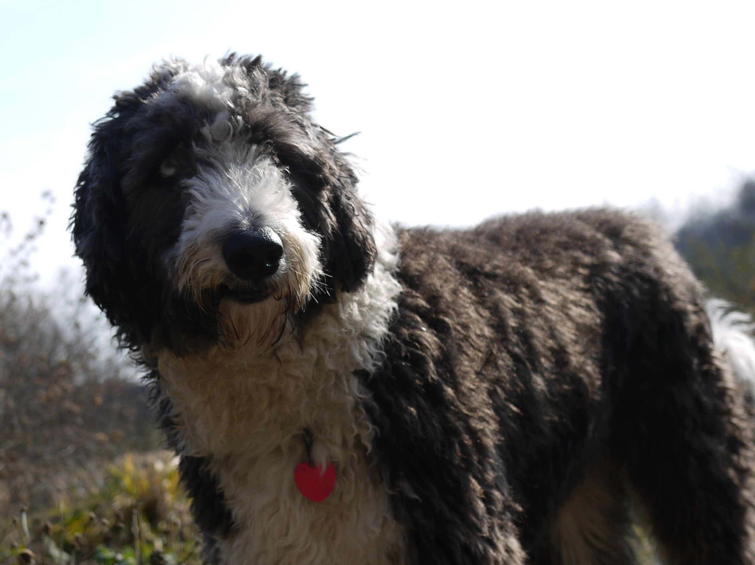 Aussiedoodle Information Dog Breeds At Dogthelove