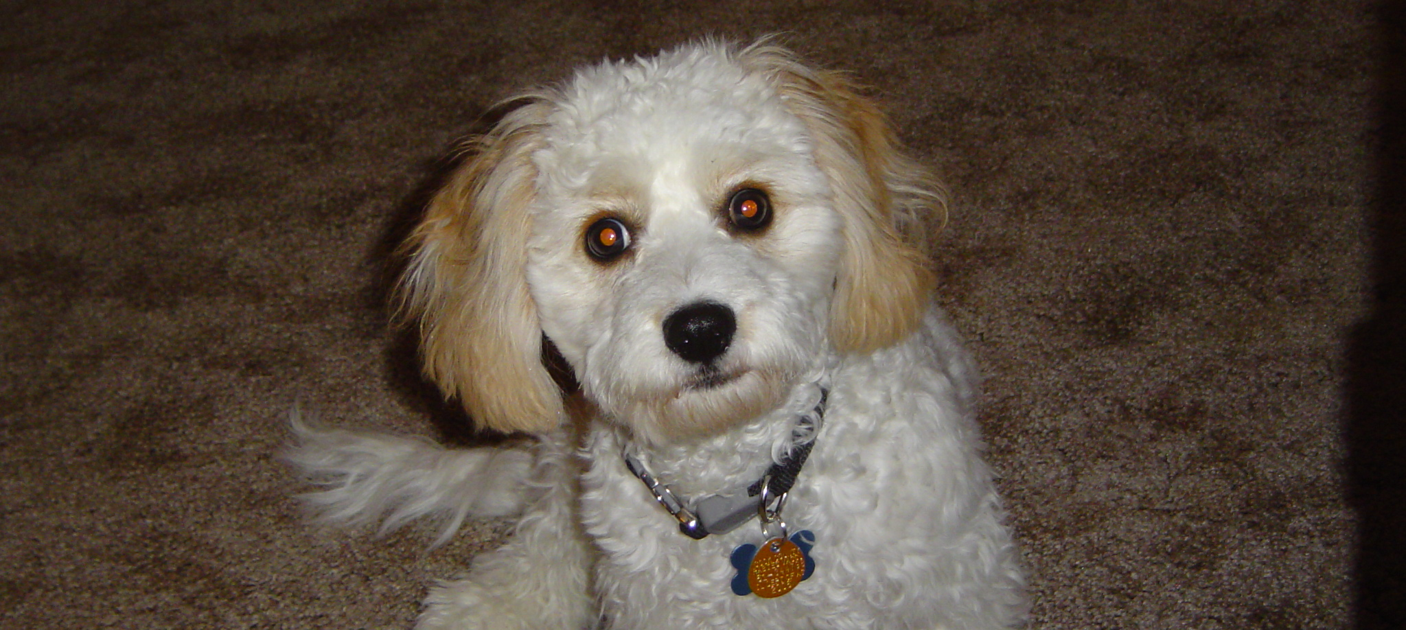 Cavachon Information - Dog Breeds at dogthelove - photo#43