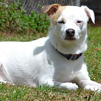 Dasher/Chihuahua / Jack Russell Terrier Mix/Male/2 years