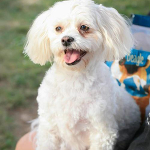 Adopt a dog:Sadie/Maltese / Bichon Frise Mix/Female/Adult,Sadie's mommy just died of cancer. Her sister and she really want to stay together. They have been together for almost 5 years. Her name is Gizmo and she is a long-haired chihuahua. 2nd Chance promised that they won't be split they've lost enough. Their mommy died at night and the next morning her husband was calling to get someone to take them. They lost mommy and home all within 12 hours it was really scary. She was afraid of thunderstorms and she shakes a lot and hides. Sister is about braver than she is but they are both adorable according to the nice ladies at the ranch.