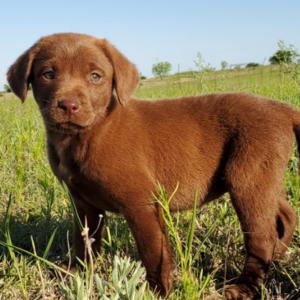 Coco/Labrador Retriever/Male/Inquiry Needed
