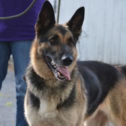 Captain/German Shepherd Dog/Male/Adult