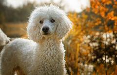 Poodle (Miniature / Standard)