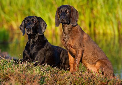Hanoverian Scenthound