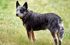 Australian Stumpy Tail Cattle Dog