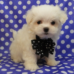 Edgar/Maltese/Male/11 Weeks