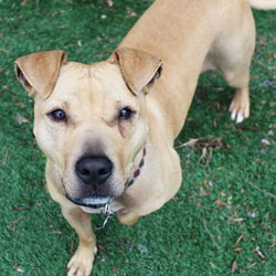 Tilly/Staffordshire Bull Terrier Mix/Female/Adult