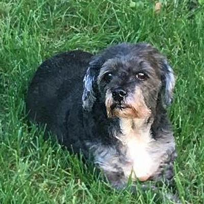 Shih Tzu / Poodle Mix/Female/11 years