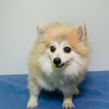 Kit/Pomeranian/Female/Senior
