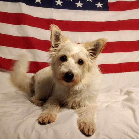 Adopt a dog:Mia/West Highland White Terrier / Westie / Terrier Mix/Female/Adult,Mia is believed to be a Westie mix, approximately 2yrs 2month old(July), approximately 17lbs(July), spayed, current on age appropriate vaccinations, house/crate trained & microchipped. Mia was pulled from a shelter after her time was up & she was found as a stray with Marley. She spends her time snuggled with the other dogs in the foster home. She is good with other dogs of all sizes, needs another dog. She is not a people dog, will not interact with them but very little(like when being fed). No small kids or hyper kids. No cats. Please consider opening your heart & home to Mia.