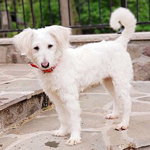 Zoe/Poodle / Terrier Mix/Female/2 years