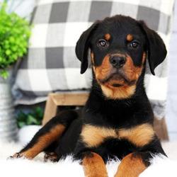 Axel/Rottweiler/Male/16 Weeks