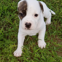 Kaylar/American Bulldog/Female/47 Weeks,Kaylar is a picture-perfect American Bulldog puppy, complete with a brindle eye patch. She is on the reserved side and super adorable. She will make a great companion and family protector. Her sire is Sr Grand Champion Cadillac Escalade, and the dam is our Wesson's Black Diamond Gem. Both parents come from excellent working and show lines, as well as exceptional hip test scores.