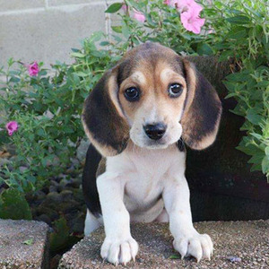 Cutie/Beagle/Female/14 Weeks