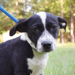 Ponce/Cattle Dog / Beagle Mix/Male/Puppy