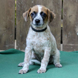 Flame/Jack Russell Terrier / Cattle Dog Mix/Female/Puppy