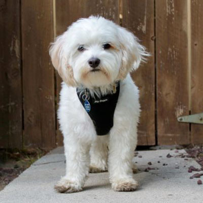Maltese / Poodle Mix/Male/4 years