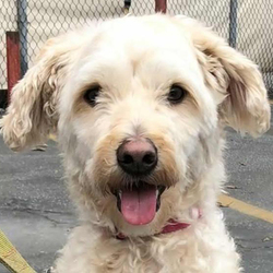 Chase/Wheaten Terrier Mix/Male/Adult
