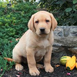 Foster/Labrador Retriever/Male/9 Weeks