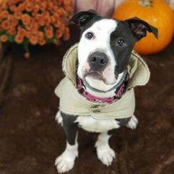 Adopt a dog:Oreo/Pit Bull Terrier Mix/Female/Adult ,