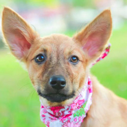 Adopt a dog:Dorah/Shepherd / FMD Mix/Female/Young,