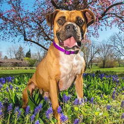 Adopt a dog:Bond/Boxer/Male/Young,Hi guys! There is Bond and he's a 2-year-old boxer boy. He's such a fun dog - he loves to go on long walks and his favorite game is fetch! He loves to snuggle up close at night and will follow you anywhere you go. Bond has been trained to sit, stay, lay down, and even go to his place when guests come over! He is fully potty trained too. He's never been destructive in the house and he does great being left out! Don't miss out on this handsome boy!