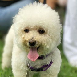 Adopt a dog:Sofia/Bichon Frise / Poodle Mix/Female/4 years,Meet Sofia! Her personality is as big as her beautiful name. She's a 4-year-old small 8-pound Bichon Frise mix. She is fun, loving and full of spirit! She took a fall before becoming a BROC BABE and the doctors said she would NEVER walk again due to a spinal cord rupture. But she has the will to get wherever she wants, nothing holds her back. Come meet and adopt Sofia and your 2019 is bound to overflow with happiness-plus!