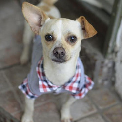 Adopt a dog:Odin/Dachshund / Jack Russell Terrier Mix/Male/Young,
