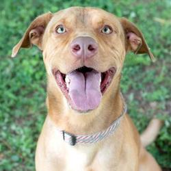 Adopt a dog:Bruce/Labrador Retriever / Doberman Pinscher Mix/Male/Young,