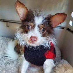Adopt a dog:Armani/ Terrier Mix /Male/Young,