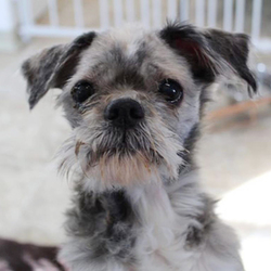 Muffin/ Shih Tzu /Female/Senior