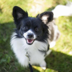 Coco/Papillon Mix /Male/2 years