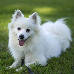 Murphy/ American Eskimo Dog Mix /Male/Young