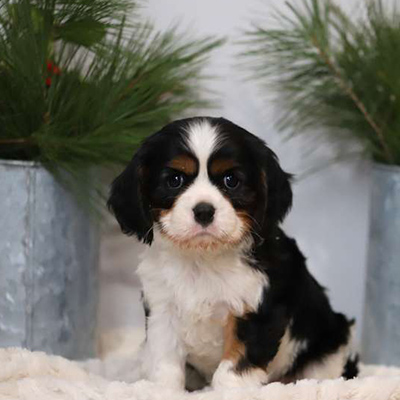 Dixon/Cavalier King Charles Spaniel/Male/6 Weeks,Here comes Dixon, a cuddly Cavalier King Charles Spaniel puppy ready to give you lots of puppy kisses! This sweet pup is vet checked and up to date on shots and wormer. Dixon can be registered with the AKC and comes with a health guarantee provided by the breeder. To find out more about this family raised and kid friendly pup, please contact the breeder today!