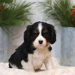 Dash/Cavalier King Charles Spaniel/Male/6 Weeks