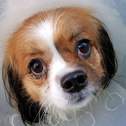 Adopt a dog:Sir Windsor/Cavalier King Charles Spaniel Mix  /Male/Adult,