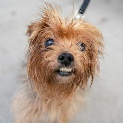 Adopt a dog:Minnie/ Yorkshire Terrier Mix/Female/Senior,