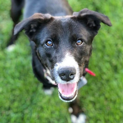 Adopt a dog:Mabyl/ Border Collie Mix/Female/Young,