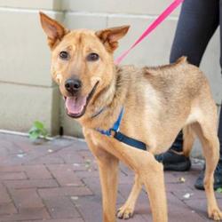 Adopt a dog:Jamai/Thai Ridgeback & Hound Mix/Male/Adult,