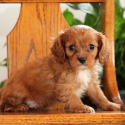 Kent/Cavalier King Charles Spaniel/Male/14 Weeks,Kent is a lovable Cavalier puppy who is sure to melt your heart. This little cutie is vet checked and up to date on shots and wormer. He can be registered with the ACA, plus comes with a health guarantee provided by the breeder. Kent is super sweet and is sure to make a great addition to any family. To learn more about this adorable pup, please contact the breeder today!