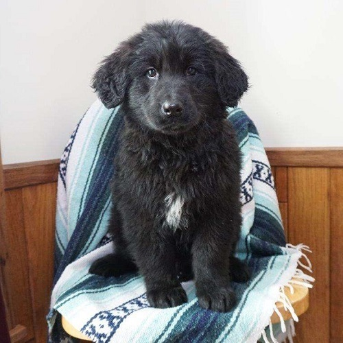 Duke/Goldendoodle/Male/18 Weeks,Check out this sweet Goldendoodle puppy, Duke! This friendly fella is vet checked, up to date on shots and dewormer, plus the breeder provides a 30 day health guarantee. Duke is very social and loves to play with children. If you are interested in learning more about this adorable pup, contact the breeder today!