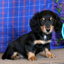 Cutie/Dachshund/Female/11 Weeks,This sweet little gem is Cutie. She is an adorable Dachshund puppy whose breeder will provide a extended heath guarantee. Cutie has been vet checked and is up to date on shots and dewormer. Plus, her mom is the family pet and she can be registered with the AKC. With her soft coat and friendly personality she is sure to be a match for your family. To welcome Cutie into your family please contact the breeder.