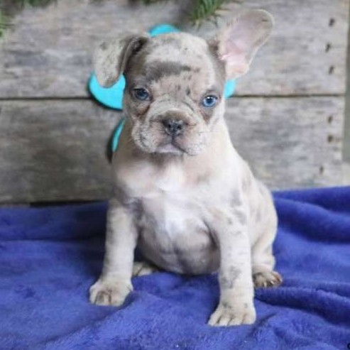 """Pearl/French Bulldog/Female/20 Weeks,Meet Pearl, a beautiful """"blue merle"""" French Bulldog puppy ready to be your new best friend! This personable pup is vet checked and up to date on shots and wormer. Pearl can be registered with the AKC, comes micro-chipped and with a 1 year genetic health guarantee provided by the breeder. This sweet pup is family raised and comfortable around children. To find out more about Pearl, please contact Chris today!"""