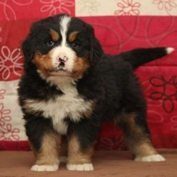 Brumby/Bernese Mountain Dog/Male/7 Weeks