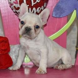 Lovey/French Bulldog/Female/8 Weeks