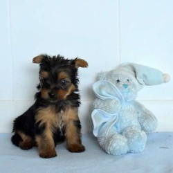Deputy/Yorkshire Terrier/Male/13 Weeks