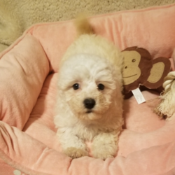 Lolly Pop/Bichon Frise/Female/20 Weeks,Dreaming of the perfect puppy? Then meet Lolly Pop. She's sure to make all your dreams come true! Lolly Pop is a sweet and playful girl who can't wait to meet her new family. Once you see this cutie, it will be love at first sight. Just look at that precious face! Who could ever say no to her? Lolly Pop will arrive up to date on vaccinations and pre-spoiled. Get ready for a mess of fun with this great girl at your side!