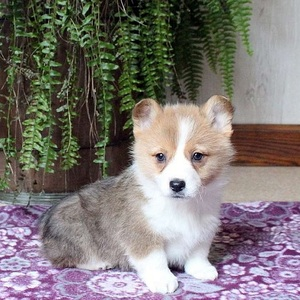 Kody/Pembroke Welsh Corgi/Male/11 Weeks,Here comes Kody! This well socialized Pembroke Welsh Corgi puppy is vet checked, up to date on shots and dewormer, plus comes with a health guarantee provided by the breeder. Kody can be registered with the ACA and his outgoing personality is sure to win you over as soon as you meet him. If you are interested in learning more about this peppy guy, contact the breeder today!